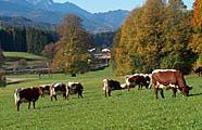 Pinzgauer-Kühe auf Weide im Voralpenland
